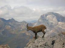 Ibex в национальном парке Ela, Швейцария Capra Стоковые Изображения