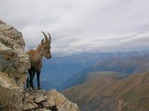 Ibex в национальном парке Ela, Швейцария Capra Стоковое фото RF