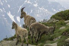 Ibex в французских Альпах Стоковые Изображения RF