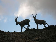 Ibex в Engadin, Швейцария Capra Стоковое Фото
