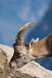 Ibex есть соль на утесах Стоковые Фото