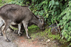 Ibex и икра Nilgiri Стоковое фото RF