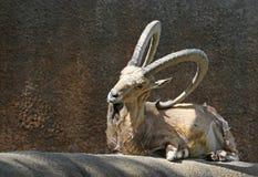 ibex козочки Стоковое Фото