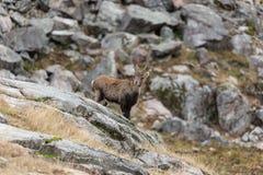 Ibex на стороне утеса Стоковое Изображение