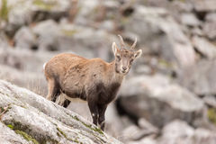 Ibex на стороне утеса Стоковое Изображение RF