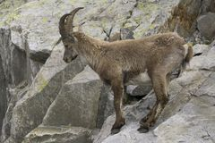 Ibex на утесе alps французские Стоковая Фотография RF