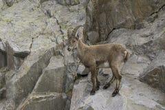 Ibex на утесе alps французские Стоковая Фотография