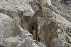 Ibex на утесе alps французские Стоковое фото RF