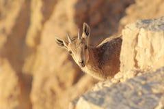 ibex подленький Стоковые Фото