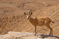 ibex пустыни Стоковые Изображения
