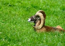 ibex Стоковое Изображение