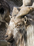 Ibex Royalty Free Stock Photography
