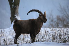 Ibex Royalty Free Stock Photos