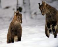 Ibex Royalty Free Stock Photos