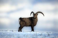 Ibex Stock Images