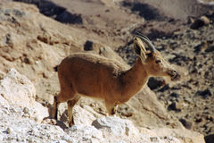 Ibex. Negev desert, Israel. Scan of a negative royalty free stock images