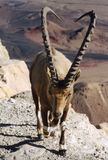 Ibex. Negev desert, Israel. Scan of a negative stock photo