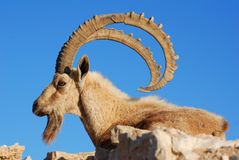 Ibex Royalty Free Stock Images