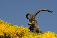 Ibex Stock Photos