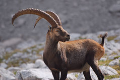 Ibex. In alarm on the Dolomites mountains, Cadore, Italy Stock Photography
