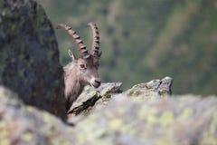 Ibex Stock Photography