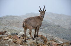 IBEX Royalty Free Stock Image