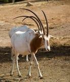 Ibex. In Ramat Gan Zoo Royalty Free Stock Photo