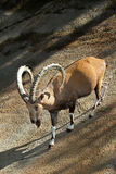 Ibex. Nubian Ibex Mountain Goat Descending Steep Rocky Grade Stock Images