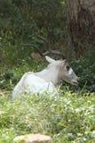 Ibex Стоковые Фотографии RF