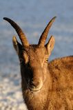 Ibex Royalty Free Stock Photo