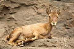 Ibex Royalty Free Stock Photography