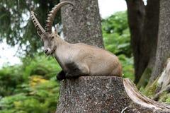 ibex Imagen de archivo libre de regalías