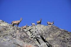 ibex Стоковые Изображения