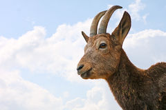 ibex стоковое изображение rf