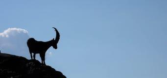 ibex Стоковая Фотография