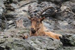 ibex Imagen de archivo