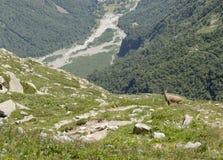 ibex Immagini Stock Libere da Diritti