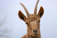 ibex Стоковые Фото