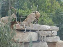 ibex imagem de stock