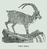 The ibex or alpine ibex in profile view standing on a rock. Illustration. The ibex or alpine ibex in profile view standing on a rock after an antique vintage Stock Photography