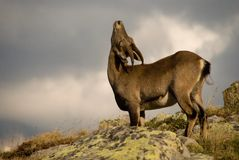 Ibex in Alps stock photography