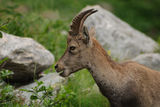 Ibex amazed Royalty Free Stock Photos