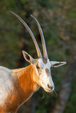 Oryx antelope portrait Stock Images