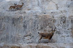 Ibex and antelopes Royalty Free Stock Photography