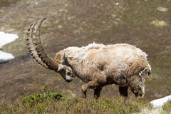 Ibex Attack. An Ibex lowers his horns Stock Images