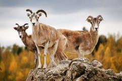 Ibex in autumn Stock Photo