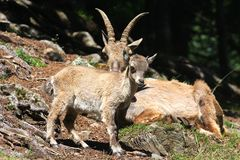 Ibex Baby in Chamonix region, France.