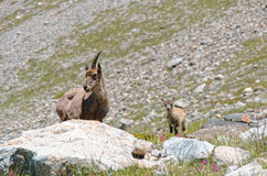 Ibex with baby in french alps Royalty Free Stock Photography