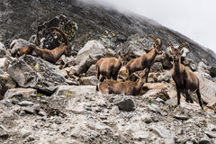 Ibex bevy. High in mountains stock photo