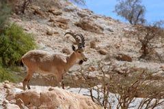 Ibex and bird ein gedi israel Stock Photos
